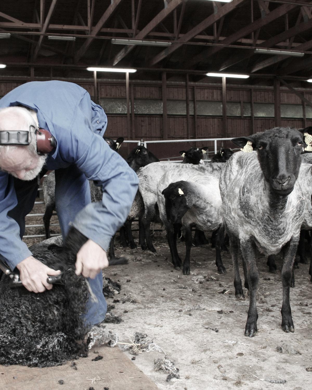 fårklippning Filtmakeriet