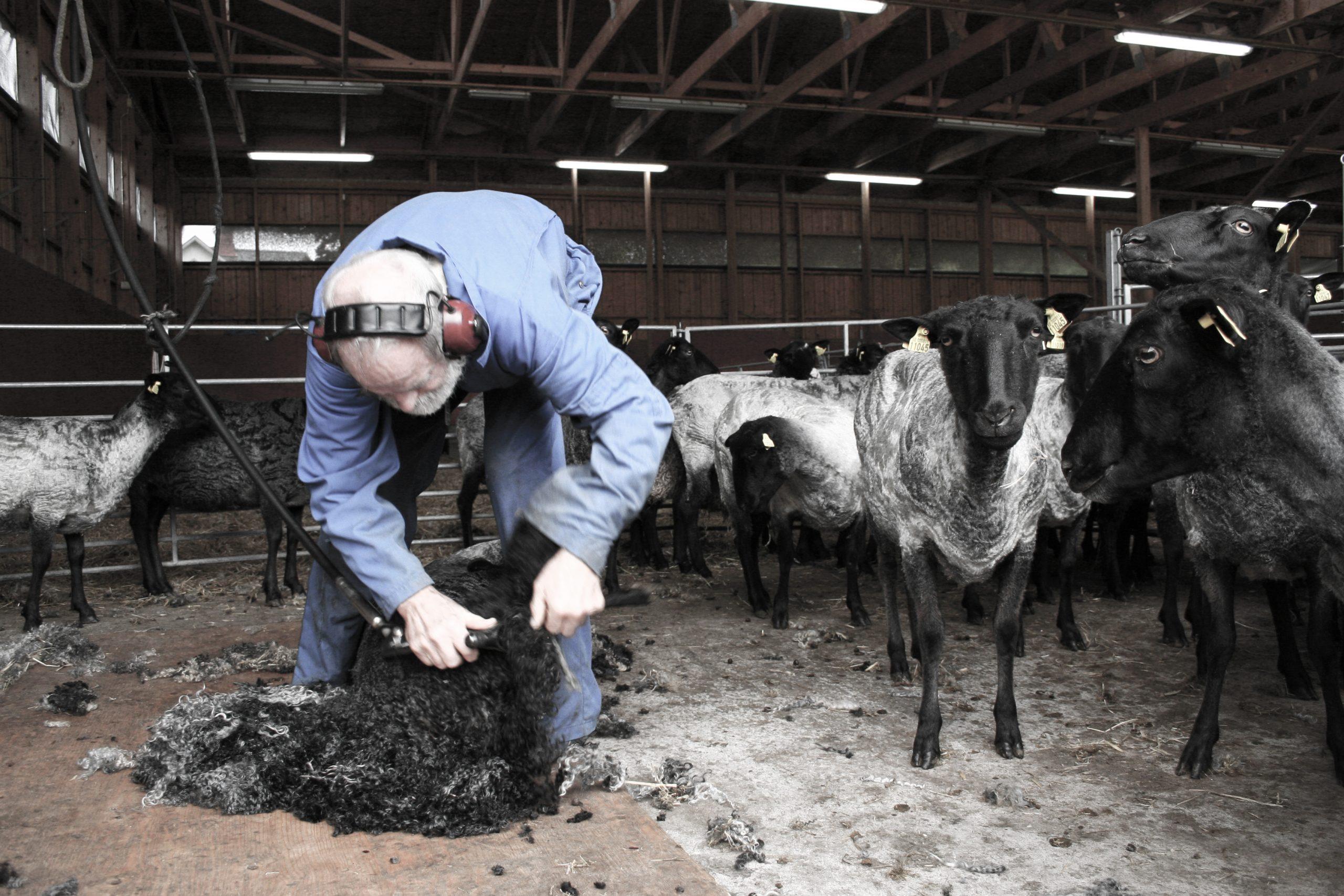 Filtmakeriet fårklippning
